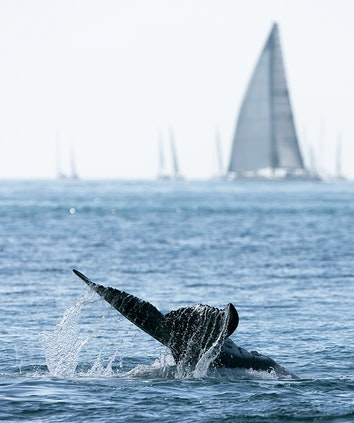 whale tail flip in the Whitsundays and an out of focus sailboat in the background