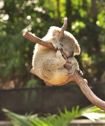 Koala curled around tree stump as part of qualia resort experience at Hamilton Island Wildlife Park